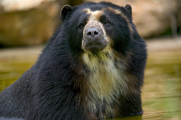 Spectacled Bear (Tremarctos ornatus) portrait, native to South America  -  Cyril Ruoso