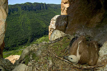 Griffon Vulture (Gyps fulvus) juvenile in cliff nest, Tarn Gorge, Cevennes National Park, Grands Causses, France  -  Cyril Ruoso