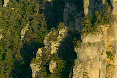 Griffon Vulture (Gyps fulvus) habitat, limestone cliff nesting biotope in the Jonte Gorge, Grands Causses, Cevennes National Park, France  -  Cyril Ruoso