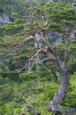Scotch Pine (Pinus sylvestris) forest, Grands Causses, Cevennes National Park, France  -  Cyril Ruoso