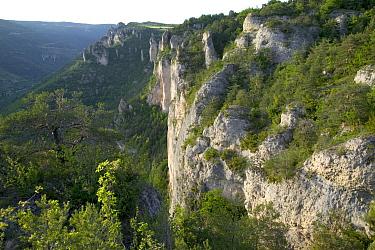 Griffon Vulture (Gyps fulvus) limestone cliff nesting habitat, Cevennes National Park, Grands Causses, France  -  Cyril Ruoso