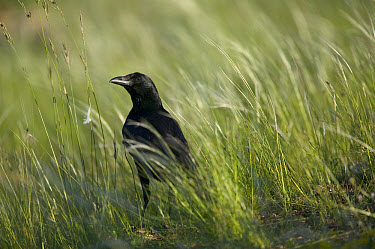 Common Raven (Corvus corax) in tall grass, Grands Causses, Cevennes National Park, France  -  Cyril Ruoso