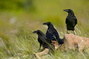 Common Raven (Corvus corax) perched on sheep carcass, Grands Causses, Cevennes National Park, France  -  Cyril Ruoso