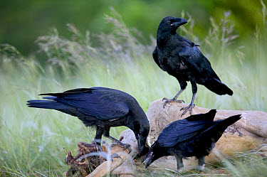 Common Raven (Corvus corax) trio scavenging sheep carcass, Grands Causses, Cevennes National Park, France  -  Cyril Ruoso