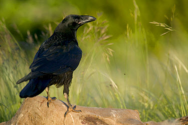 Common Raven (Corvus corax) on sheep carcass, Grands Causses, Cevennes National Park, France  -  Cyril Ruoso