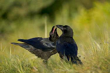 Common Raven (Corvus corax) courtship ritual female mimics fledgling and is fed by male suitor, Grands Causses, Cevennes National Park, France  -  Cyril Ruoso