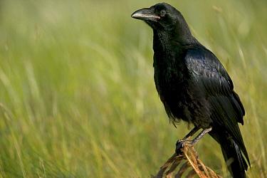 Common Raven (Corvus corax) portrait, Grands Causses, Cevennes National Park, France  -  Cyril Ruoso
