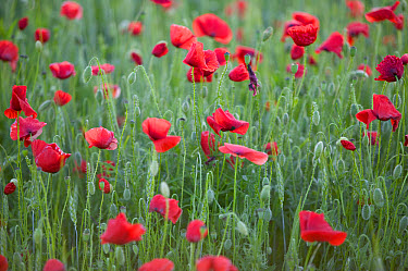 Red Poppy (Papaver rhoeas) field, Yonne, France  -  Cyril Ruoso