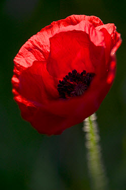 Red Poppy (Papaver rhoeas), Yonne, France  -  Cyril Ruoso