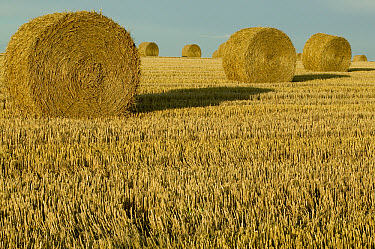 Bales of grain at harvest time, Picardie, France  -  Cyril Ruoso