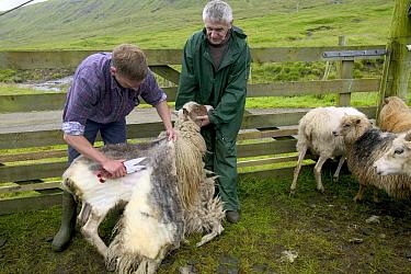 Domestic Sheep (Ovis aries) shearing, Streymoy Island, Faroe Islands  -  Cyril Ruoso