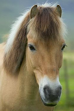 Domestic Horse (Equus caballus) portrait, Faroe Islands  -  Cyril Ruoso