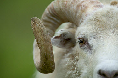 Domestic Sheep (Ovis aries) ram, east coast, Iceland  -  Cyril Ruoso