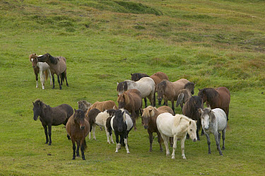 Domestic Horse (Equus caballus) herd, central Iceland  -  Cyril Ruoso