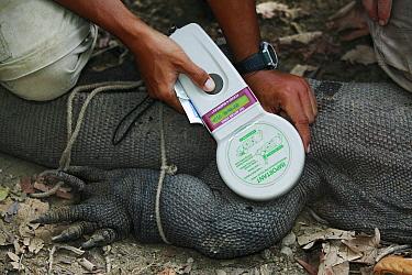 Komodo Dragon (Varanus komodoensis) being implanted with an electronic tracking device, vulnerable, Komodo National Park, Indonesia  -  Cyril Ruoso