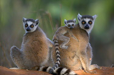 Ring-tailed Lemur (Lemur catta) two adults and a baby, vulnerable, Berenty Private Reserve, Madagascar  -  Cyril Ruoso