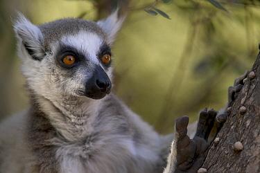 Ring-tailed Lemur (Lemur catta) portrait, vulnerable, Berenty Private Reserve, Madagascar  -  Cyril Ruoso
