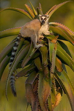 Ring-tailed Lemur (Lemur catta) eating Aloe (Aloe vahombe) vulnerable, Berenty Private Reserve, Madagascar  -  Cyril Ruoso