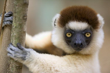 Verreaux's Sifaka (Propithecus verreauxi) portrait, vulnerable, Berenty Private Reserve, Madagascar  -  Cyril Ruoso