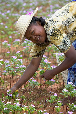 Rosy Periwinkle (Catharanthus roseus) being harvested by Malagasy woman, leaves and flowers used for anti-cancer medicine, Berenty Private Reserve, Madagascar  -  Cyril Ruoso