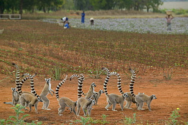 Ring-tailed Lemur (Lemur catta) drought year forces troops to look for flowers in sisal fields, vulnerable, Berenty Private Reserve, Madagascar  -  Cyril Ruoso