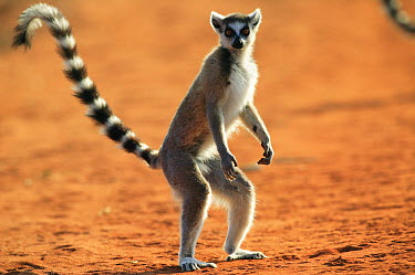 Ring-tailed Lemur (Lemur catta) standing up when anxious, vulnerable, Berenty Private Reserve, Madagascar  -  Cyril Ruoso