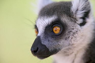 Ring-tailed Lemur (Lemur catta) close up portrait, vulnerable, Berenty Private Reserve, Madagascar  -  Cyril Ruoso