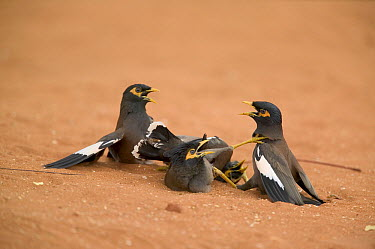 Common Myna (Acridotheres tristis) fight between two couples, introduced species, southern Madagascar  -  Cyril Ruoso