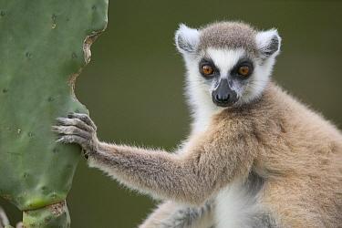 Ring-tailed Lemur (Lemur catta) sitting on cactus, vulnerable, Berenty Private Reserve, Madagascar  -  Cyril Ruoso