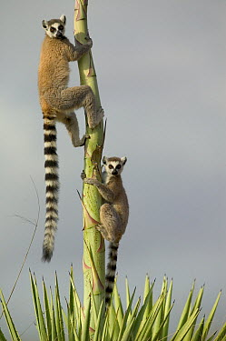 Ring-tailed Lemur (Lemur catta) pair climbing Aloe (Aloe vahombe) vulnerable, Berenty Private Reserve, Madagascar  -  Cyril Ruoso