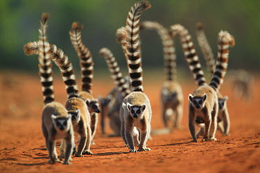 Ring-tailed Lemur (Lemur catta) troop walking down dirt road, vulnerable, Berenty Private Reserve, Madagascar  -  Cyril Ruoso