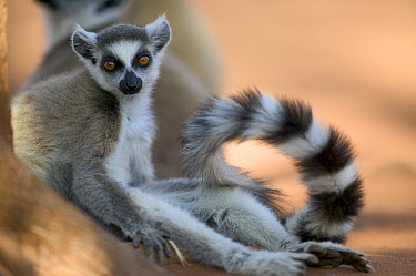 Ring-tailed Lemur (Lemur catta) portrait, vulnerable, Berenty Private Reserve, Madagascar  -  Cyril Ruoso