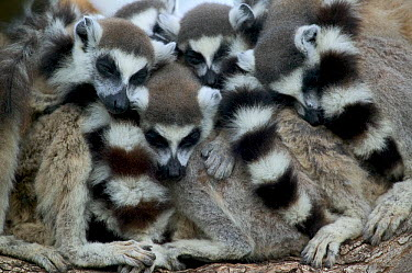 Ring-tailed Lemur (Lemur catta) group huddles for warmth as they sleep, vulnerable, Berenty Private Reserve, Madagascar  -  Cyril Ruoso