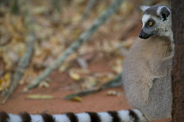 Ring-tailed Lemur (Lemur catta) peeking out from behind a tree, vulnerable, Berenty Private Reserve, Madagascar  -  Cyril Ruoso