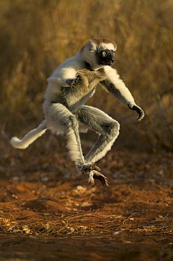 Verreaux's Sifaka (Propithecus verreauxi) jumping across open ground, vulnerable, Berenty Private Reserve, Madagascar  -  Cyril Ruoso