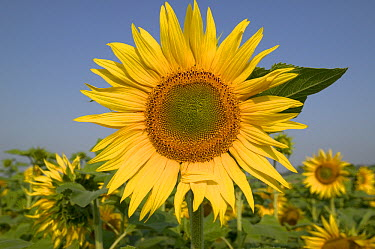 Common Sunflower (Helianthus annuus) field, Bourgogne, France  -  Cyril Ruoso