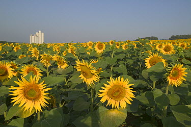 Common Sunflower (Helianthus annuus) field with fodder silo, Bourgogne, France  -  Cyril Ruoso