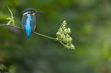 Common Kingfisher (Alcedo atthis) perching on Cow Parsnip (Heracleum maximum), Yonne, France  -  Cyril Ruoso