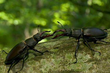 Stag Beetle (Lucanidae) pair fighting, Bourgogne, France  -  Cyril Ruoso