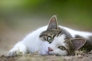 Domestic Cat (Felis catus) laying on the ground, France  -  Cyril Ruoso