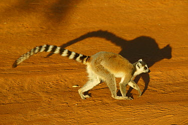Ring-tailed Lemur (Lemur catta) walking on dirt road, vulnerable, Berenty Private Reserve, Madagascar  -  Cyril Ruoso