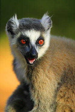 Ring-tailed Lemur (Lemur catta) portrait of calling adult, vulnerable, Berenty Private Reserve, Madagascar  -  Cyril Ruoso