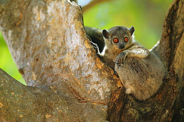 White-footed Sportive Lemur (Lepilemur leucopus) relaxing at mid-day, Berenty Private Reserve, Madagascar  -  Cyril Ruoso