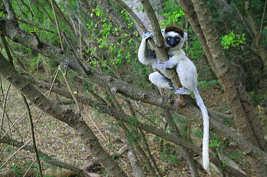 Verreaux's Sifaka (Propithecus verreauxi) juvenile sitting in a tree, vulnerable, Berenty Private Reserve, Madagascar  -  Cyril Ruoso