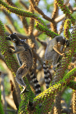 Ring-tailed Lemur (Lemur catta) trio feeding on fresh leaves of the Madagascan Ocotillo (Alluaudia procera) vulnerable, Berenty Private Reserve, Madagascar  -  Cyril Ruoso