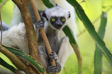 Verreaux's Sifaka (Propithecus verreauxi) baby portrait, vulnerable, Berenty Private Reserve, Madagascar  -  Cyril Ruoso