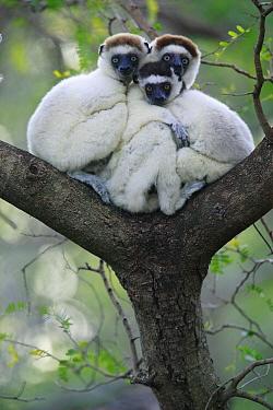 Verreaux's Sifaka (Propithecus verreauxi) trio huddling, vulnerable, Berenty Private Reserve, Madagascar  -  Cyril Ruoso