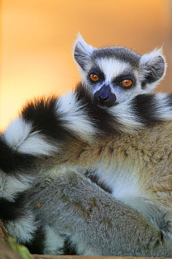 Ring-tailed Lemur (Lemur catta) portrait showing striped tail, vulnerable, Berenty Private Reserve, Madagascar  -  Cyril Ruoso