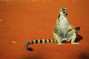 Ring-tailed Lemur (Lemur catta) male warming himself in the sun, vulnerable, Madagascar  -  Cyril Ruoso