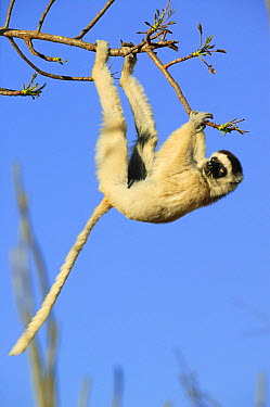 Verreaux's Sifaka (Propithecus verreauxi) hanging from a tree, vulnerable, Berenty Private Reserve, Madagascar  -  Cyril Ruoso